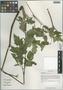 Cimicifuga yunnanensis P. G. Xiao, China, D. E. Boufford 32688, F