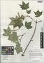 Acer cappadocicum subsp. sinicum (Rehder) Hand.-Mazz., China, D. E. Boufford 39894, F