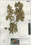 Acer stachyophyllum Hiern, China, D. E. Boufford 40332, F