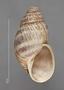 50732 Bulimulus haenkei