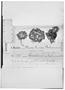 Field Museum photo negatives collection; Wien specimen of Cerastium imbricatum var. mandonianum Rohrb., BOLIVIA, G. Mandon 981, Type [status unknown], W