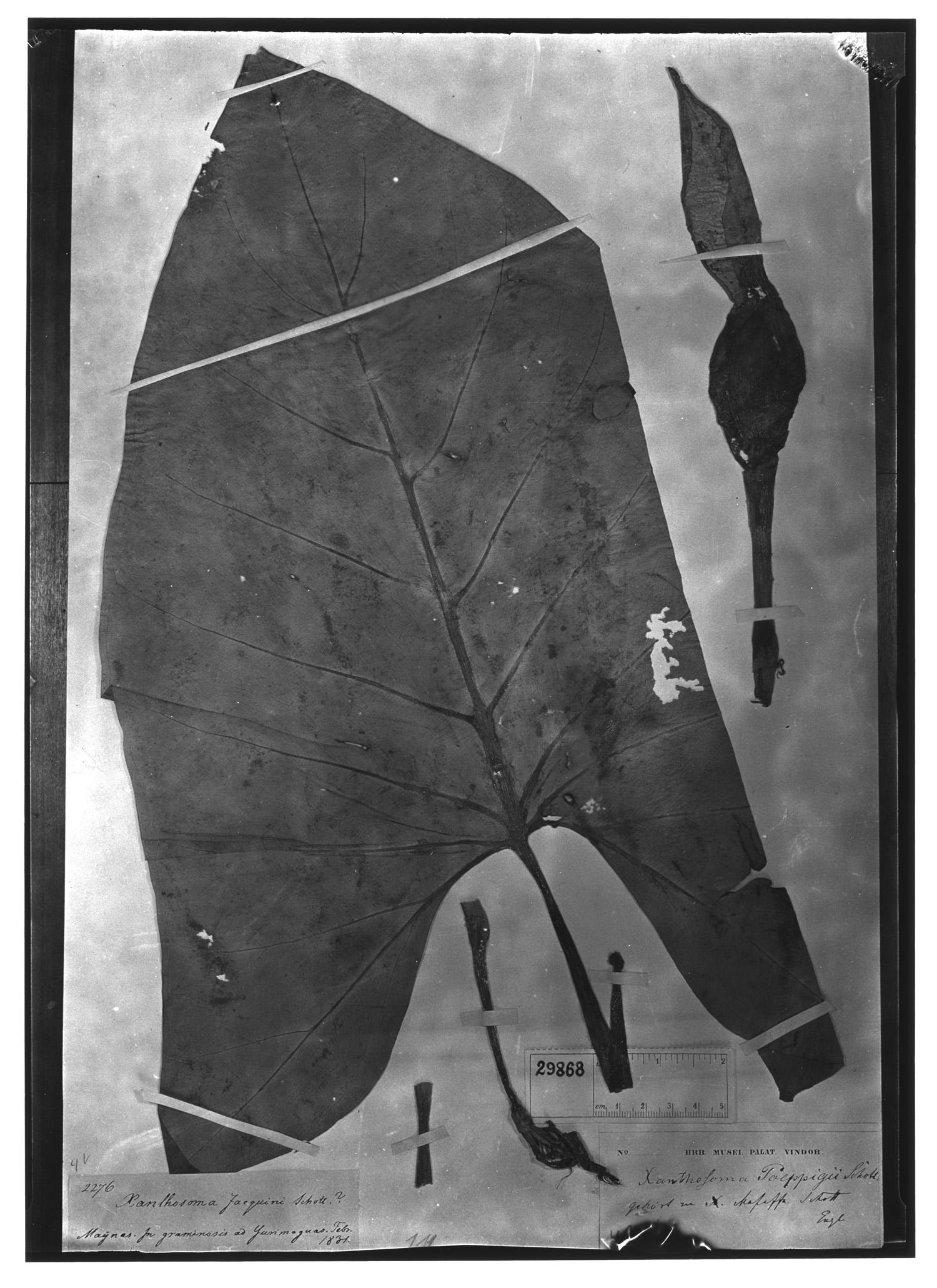 Xanthosoma poeppigii image