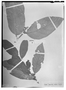 Field Museum photo negatives collection; Wien specimen of Helicostylis affinis Steud. ex Miq., SURINAME, Fr. W. R. Hostmann 1280, Isotype, W