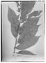 Field Museum photo negatives collection; Wien specimen of Trophis americana var. meridionalis Bureau, PERU, R. Spruce 4521, Syntype, W