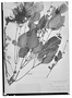 Field Museum photo negatives collection; Wien specimen of Salvia inaequilatera Cufod., COSTA RICA, G. Cufodontis 443, Type [status unknown], W