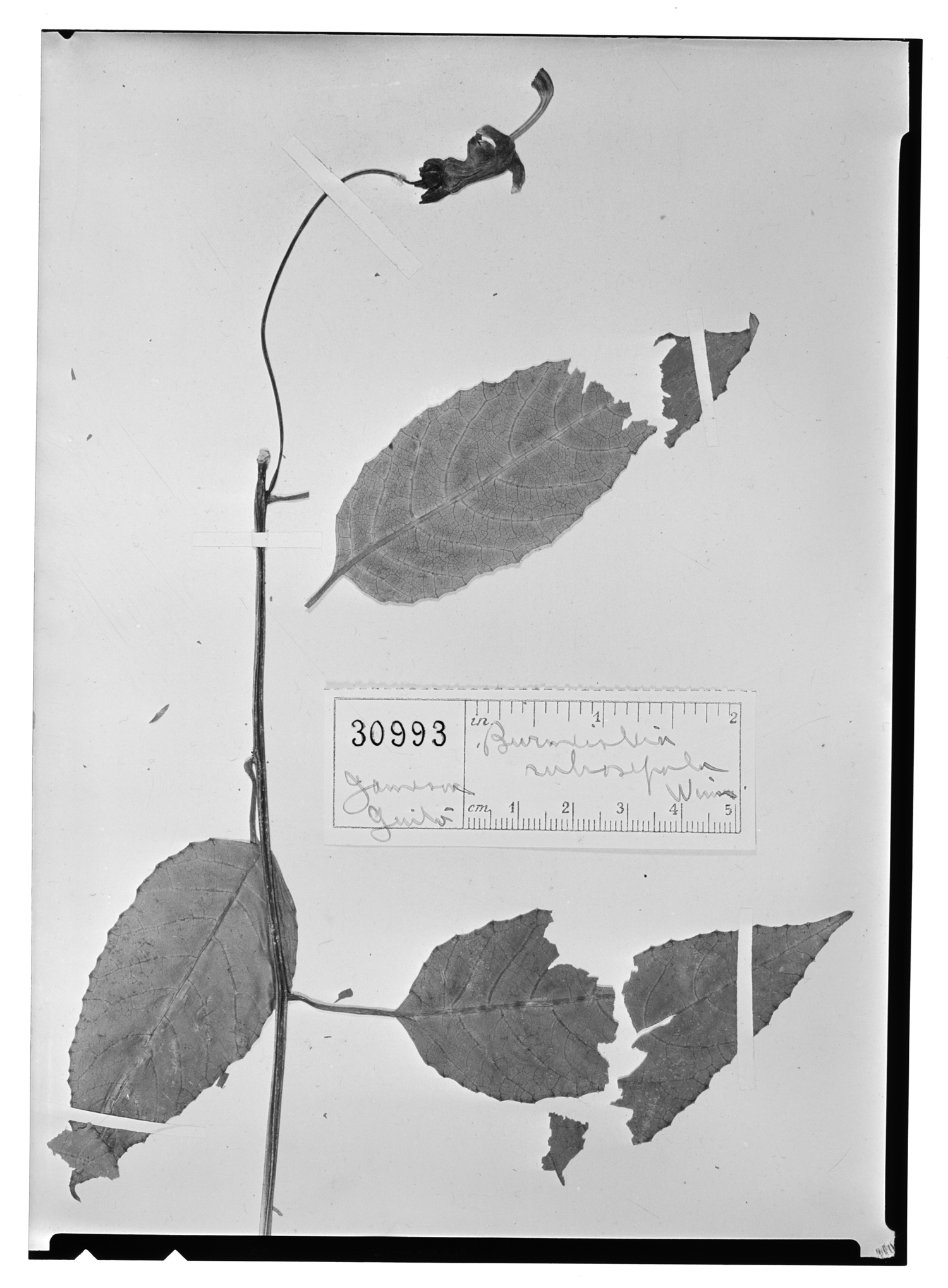 Burmeistera rubrosepala image