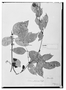 Field Museum photo negatives collection; Wien specimen of Paullinia pterocarpa Triana & Planch., COLOMBIA, G. C. W. H. Karsten, Type [status unknown], W