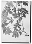 Field Museum photo negatives collection; Wien specimen of Paullinia serjaniaefolia Triana & Planch., COLOMBIA, G. C. W. H. Karsten, Type [status unknown], W