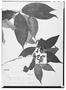 Field Museum photo negatives collection; Wien specimen of Tabernaemontana rupicola Benth., BRAZIL, E. F. Poeppig 2504, Type [status unknown], W