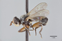 95654 Thecophora luteipes PT p IN