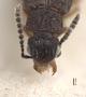 3048050 Delopsis curticornis ST h IN