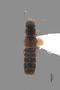 3047994 Chapmania paradoxa ST d IN