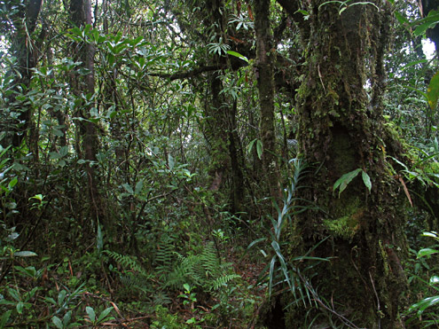 The interior of mature montane forest at 1434m with abundant vines and ferns. Mt. Palali, Nueva Vizcaya Province, Luzon. [Copyright] The Field Museum