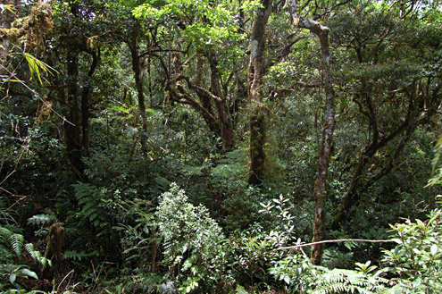 Old-growth montane rainforest at about 1475m on the Mingan Mountains, Aurora Province, Luzon. (c) The Field Museum