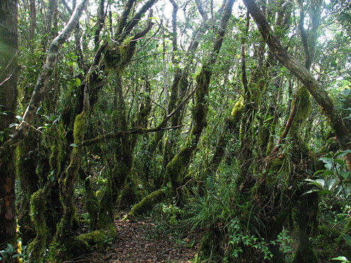 The interior of mossy forest is usually densely vegetated, with moss covering tree trunks, exposed roots, and often branches and even leaves. The trees are often small and gnarled. Mt. Cetaceo, 1500m, Cagayan Province, Luzon. (c) The Field Museum