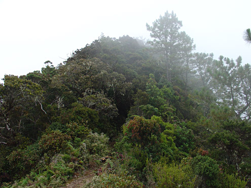 Rhododendron and other shrubs with small leaves are abundant on ridgetops in mossy forest. Mt. Amuyao, about 2600m, Mountain Province, Luzon. [Copyright] The Field Museum