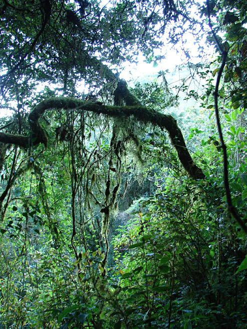 The larger trees in mossy forest often have horizontal branches from which moss drapes in sheets. Mt. Pulag, about 2300m, Benguet Province, Luzon. [Copyright] The Field Museum