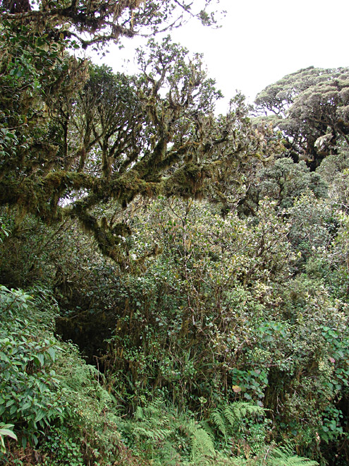 Where mossy forest grows in places protected from the wind, the trees may grow to 10m. Mt. Pulag, about 2600m, Benguet Province, Luzon. (c) The Field Museum