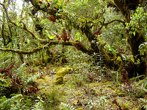 The ground in mossy forest is often covered by a thick layer of decomposing leaves and moss on top of a meter or more of humus. Ferns and orchids grow everywhere. Mt. Bali-it, 2150m, Kalinga Province, Luzon. (c) The Field Museum