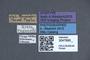 3047995 Phloeocharis subtilissima var hummleri ST labels IN
