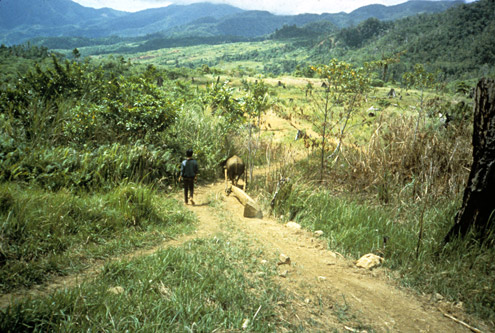 """Lumber produced by small-scale logging is often hauled out behind carabao, leading to the term """"carabao logging"""". The lumber is usually sold to local businessmen. Mt. Konduko, Biliran Island. (c) The Field Museum"""