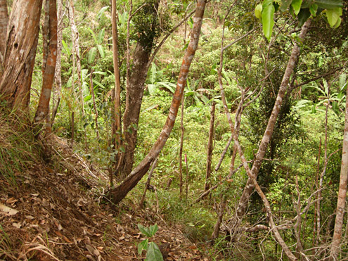 Regenerating forest is often initially quite sparse, but gradually the trees become larger and leaf litter and soil develop on the forest floor. Mt. Palali, Nueva Vizcaya Province, Luzon. (c) The Field Museum