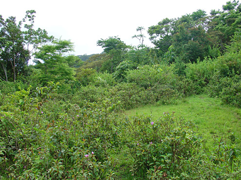 Clearings in regenerating forest fill in gradually, with succession from open grassy areas to secondary forest taking 20 years or more. Mt. Banahaw, Quezon Province, Luzon. [Copyright] The Field Museum