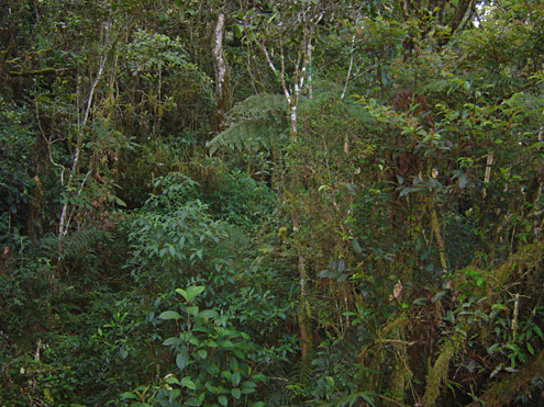 Regenerating secondary forest provides habitat that is similar to the original old-growth forest, suitable for most of the mammals that occurred there originally. Mt. Data, Mountain Province, Luzon. [Copyright] The Field Museum