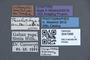 3047996 Trichophya antennalis ST labels IN