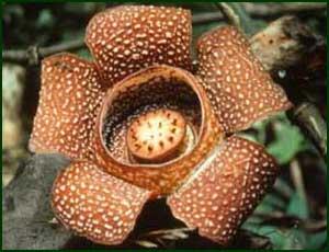 Rafflesia. Check copyright.