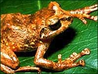 Key Frog (c) Field Museum of Natural History - CC BY-NC