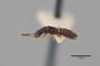 3048522 Delopsis methneri ST p IN