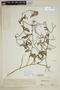 Lycopersicon peruvianum image