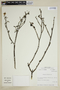 Bulnesia chilensis Gay, Chile, M. O. Dillon 5458, F