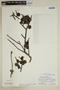 Bulnesia retama (Gillies ex Hook. & Arn.) Griseb., Peru, P. C. Hutchison 7115, F