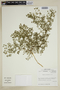 Fagonia chilensis Hook. & Arn., Chile, M. O. Dillon 5794, F