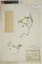 Fagonia aspera Gay, Chile, E. Werdermann 390, F