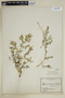 Fagonia chilensis Hook. & Arn., Chile, E. Werdermann 168, F