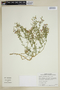 Fagonia chilensis Hook. & Arn., Chile, T. G. Lammers 7616, F