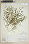 Fagonia chilensis Hook. & Arn., Chile, M. O. Dillon 5588, F