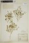 Fagonia subaphylla Phil., Chile, E. Werdermann 393, F