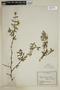 Pintoa chilensis Gay, Chile, E. Werdermann 148, F
