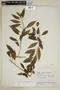 Burmeistera oblongifolia image