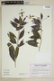 Burmeistera pallida image