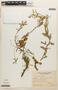 Prosopis affinis image