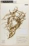 Prosopis flexuosa image