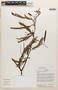 Acacia multipinnata image