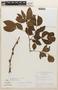 Zygia latifolia (L.) Fawc. & Rendle, Brazil, G. T. Prance 7365, F