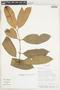 Garcinia spruceana Engl., Bolivia, I. G. Vargas C. 1175, F