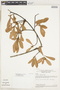 Renggeria comans (Mart.) Engl., Brazil, T. C. Plowman 8888, F
